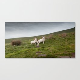Welsh lambs in Brecon Canvas Print