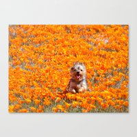 minnie Canvas Prints featuring Yorkie in Poppies by Sue Liberto Photography