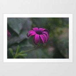 Has been a long day (African Daisy Flower) Art Print