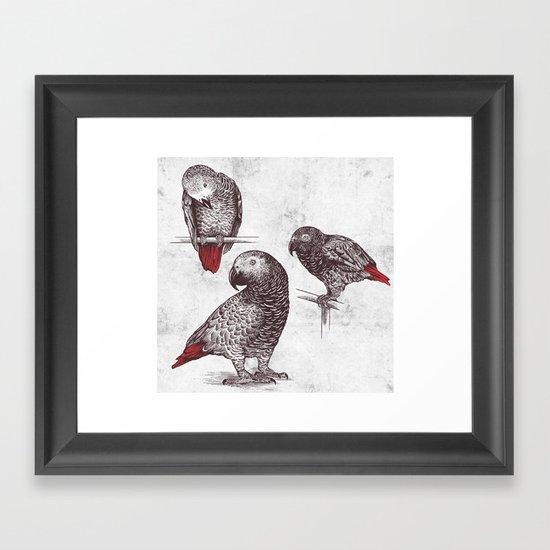 Three Grey Parrots Framed Art Print
