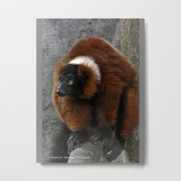 Red Ruffed Lemur Metal Print
