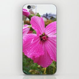 Lavatera flower with water drops in the morning iPhone Skin
