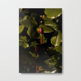Growing Flower in the Queen Elizabeth Park's Rose Garden Metal Print