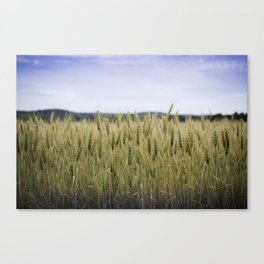 Grain Almost Ready For Harvest Canvas Print