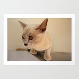 Lilac burmese beauty Art Print