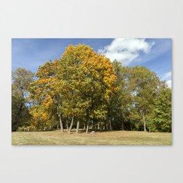 Yellow maple foliage Canvas Print