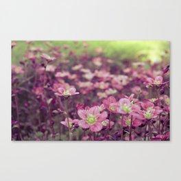 Pink Saxifrage Canvas Print