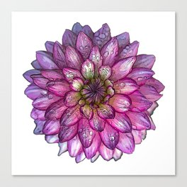 Dahlia Purple & White with water droplets Canvas Print
