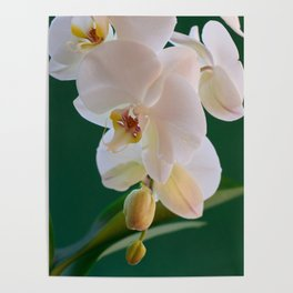 Blossoming White Orchid Flower on Green Background Poster
