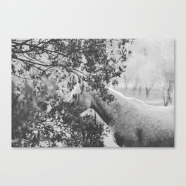 Horse II _ Photography Canvas Print