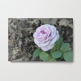 The Palest Pink Rose Standing out in the Gloom Metal Print