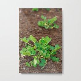 Peanut plants Metal Print