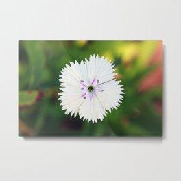 White Dianthus Metal Print