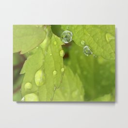 Spiraea Leaves Rain Drops Metal Print