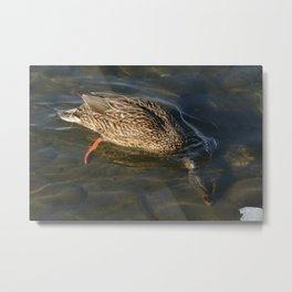 Mallard duck hen diving for food Metal Print