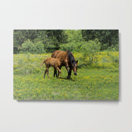 Young foal horse walking next to its mother in a field Metal Print