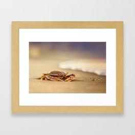 Crab Cribrarius Framed Art Print