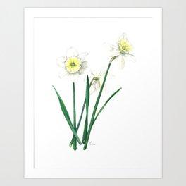 White Daffodils - 'Ice Follies' Botanical Illustration Art Print