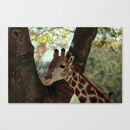 Zoo Giraffe Portrait Canvas Print