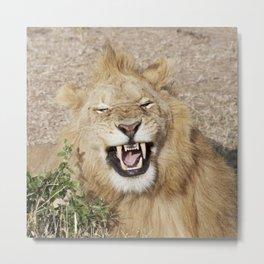 The laughing lion Metal Print