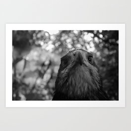 Black-Chested buzzard eagle portrait Art Print