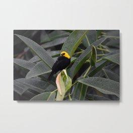 National Aviary - Pittsburgh - Yellow Hooded Blackbird Metal Print