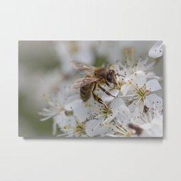 Bee on Cherry Blossom Metal Print