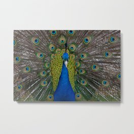 peacock looking at you Metal Print