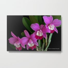 Laeliocattleya Orchid Metal Print