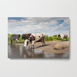 Herd of cows walking across puddle Metal Print