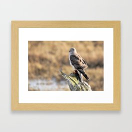 Sunlit Profile of a Northern Harrier Hawk on Driftwood Framed Art Print