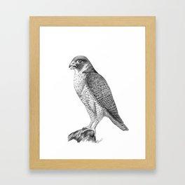 Peregrine Halcon Framed Art Print