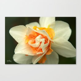 Explosion of daffodil Canvas Print
