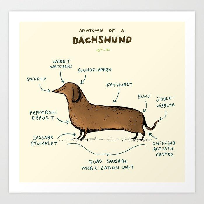 Anatomy of a Dachshund Kunstdrucke