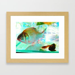 With a goldfish and small prawns Framed Art Print