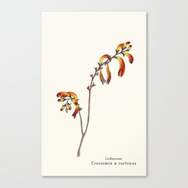 Ligne claire 2: Crocosmia x curtonus Canvas Print