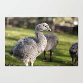 Cape Barren Goose out in nature Canvas Print