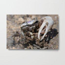 Fiddler Crab Metal Print