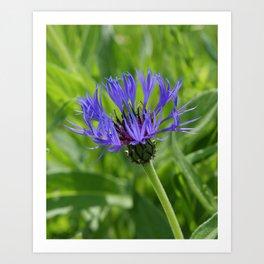 Purple Knapweed Art Print