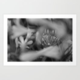 Snow Ripple Agapanthus  Art Print