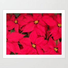 Brightly Colored Red Poinsettias Art Print