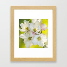 Close-up of Apple tree flowers on a vivid green background - Summer atmosphere Framed Art Print