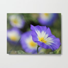 Morning Glory named Blue Ensign Metal Print