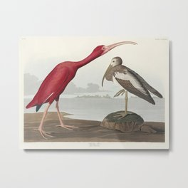 Scarlet Ibis from Birds of America (1827) by John James Audubon (1785 - 1851 ) etched by Robert Havell (1793 - 1878) Metal Print