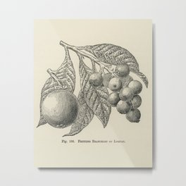 The fruit grower's guide  Vintage illustration of loquat Metal Print