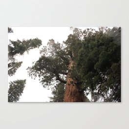 Looking Up to the Top of a Giant Sequoia Tree Canvas Print
