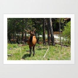Rocky Mountain Wapiti Art Print