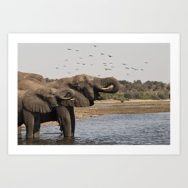 Éléphants, Parc national de Chobe, Botswana // Elephants, Chobe National Park, Botswana Art Print