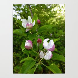 Apple Blossoms In Spring Time Poster
