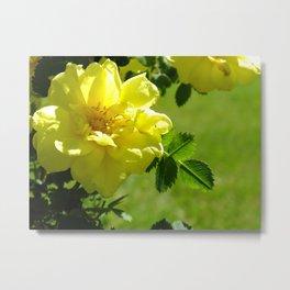yellow rosebush II Metal Print